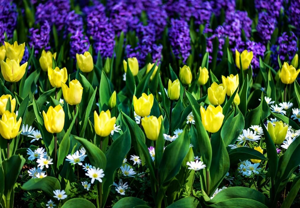 Tulips and Hyacinth flowers.