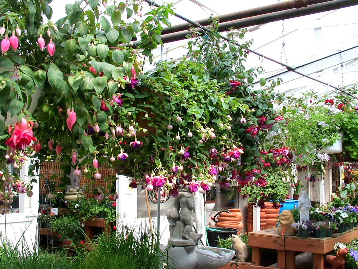 Rows of gorgeous hanging baskets at Bark & Garden Center.