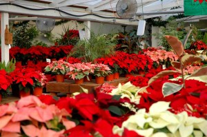 poinsettias, Bark & Garden Center