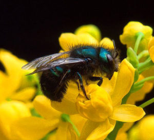 mason bee on yellow flowers