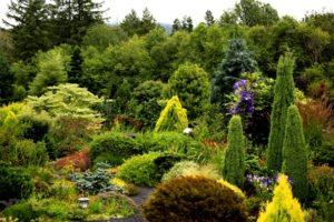 Conifer, conifers, dwarf conifer, winter interest
