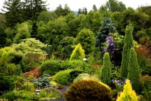 dwarf conifers,conifers,winter interest