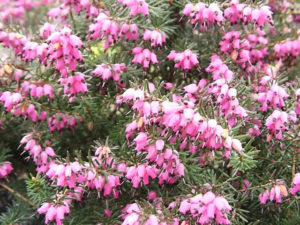 heather,evergreen shrub,flowering winter plant