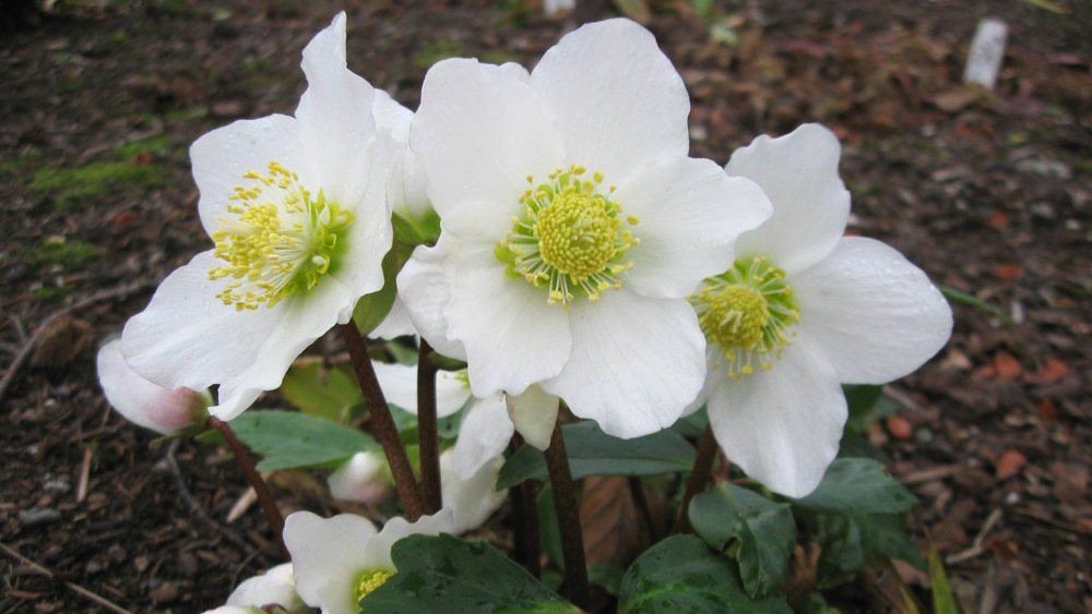 Hellebores from Heaven