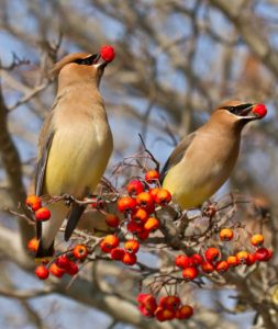 royal raindrops crabapple with cedar waxwing