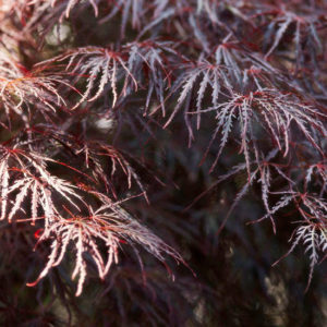 japanese-maple-atropurpureum