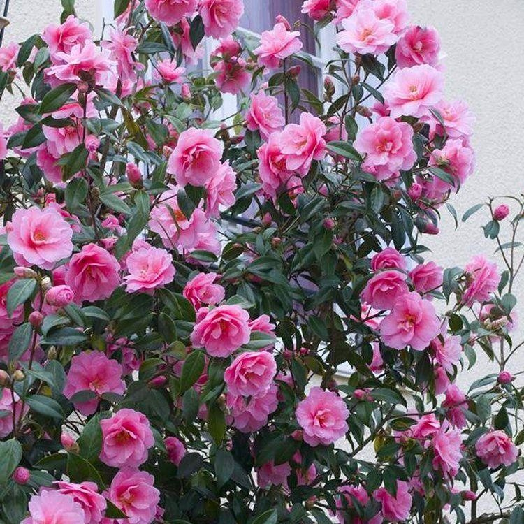 Carefree Camellias