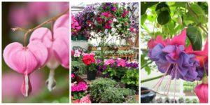 Mother's Day flowers: bleeding heart, hanging baskets, fuschias