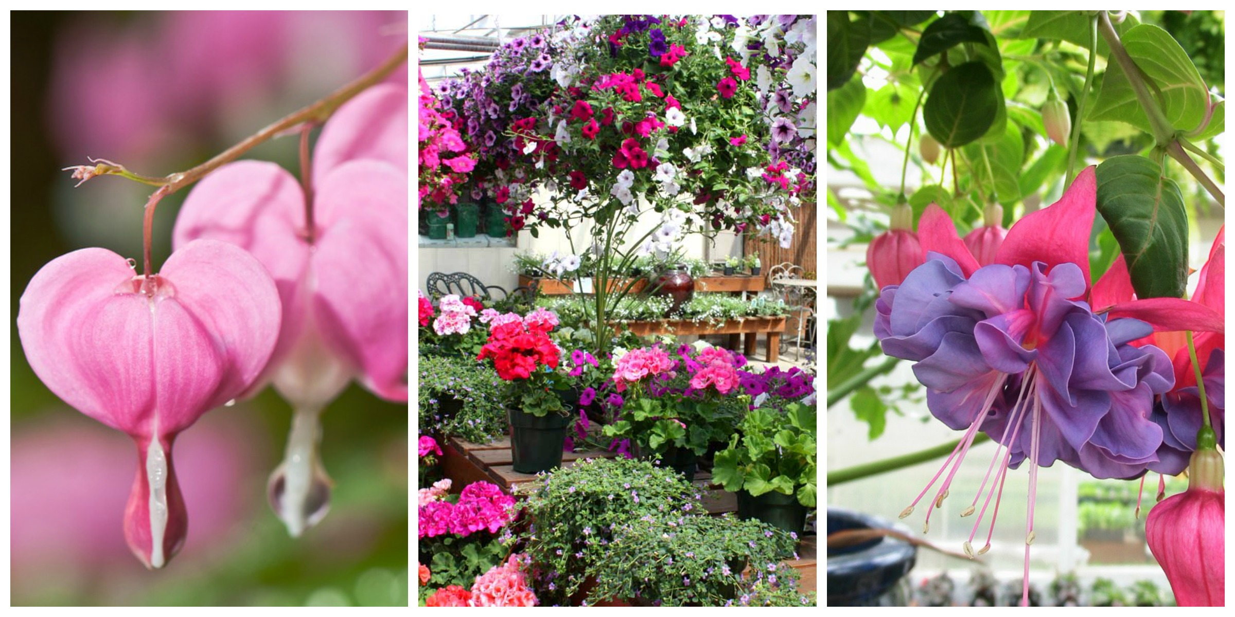 Mother's Day flowers: bleeding heart, hanging baskets, fuschias