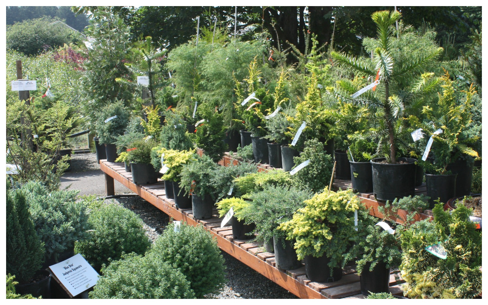 Assorted dwarf conifer shrubs